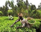 Indian-owned firm's $30 mn investment aims to revive agriculture in Ghana
