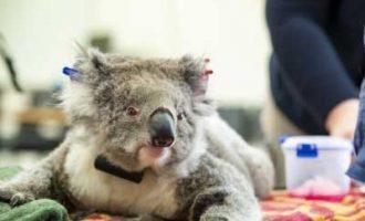 Australian koalas on brink of extinction: Conservationists